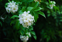 Philippine National Flower Is The Gardenia Flower Glass Or Sampaguita Jasmine Flowers