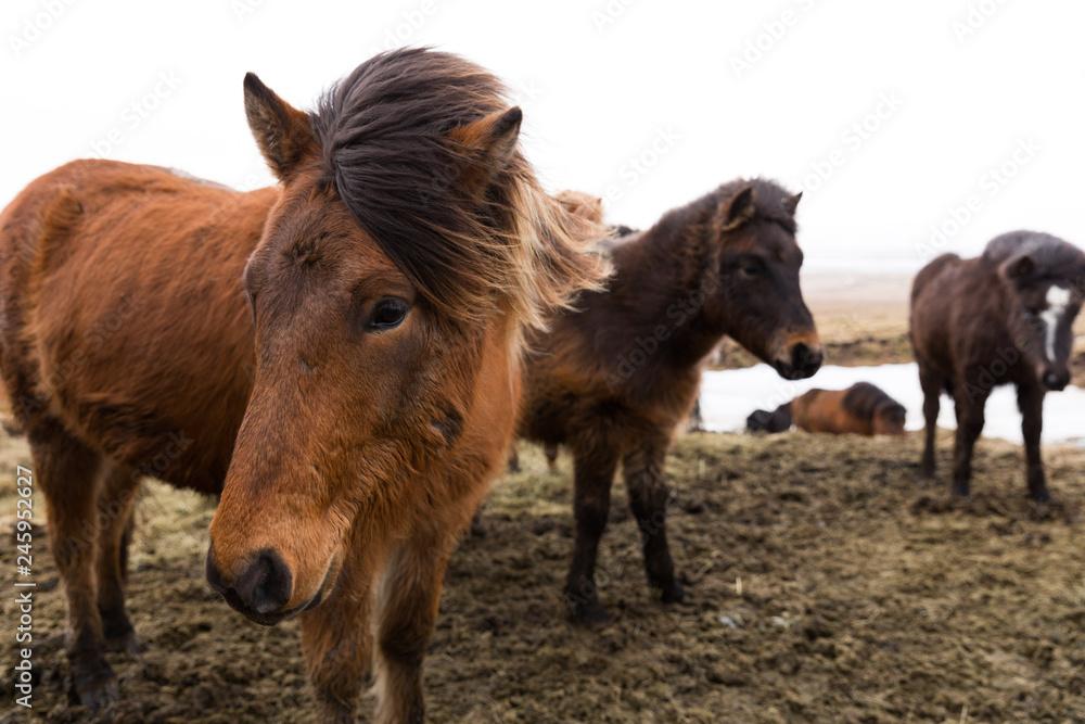 Islandpferde in freier Natur