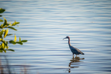 A Great Blue Heron In Everglad...