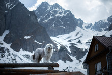 White Dog Bobtail Stands On A Piece Of Wood. Pet In Nature, In The Mountains