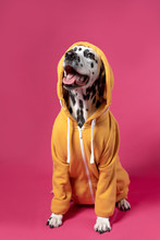 Dalmatian Dog In Yellow Sport Jacket Sitting On Pink Background. Funny Muzzle. Copy Space