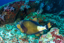 Large Titan Triggerfish (Balistoides Viridescens) Feeding On A Tropical Coral Reef