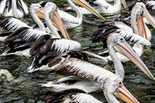 Flock Of Pelicans Swimming In Lake