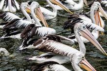 Flock Of Pelicans Swimming In ...