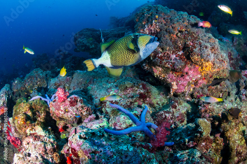 Titan Triggerfish on a tropical coral reef #245965039
