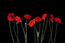Red Poppies Flowers Row Horizontally Black Background