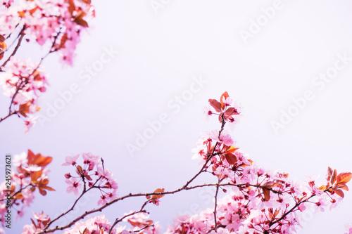 rosa kirschbaumblüte