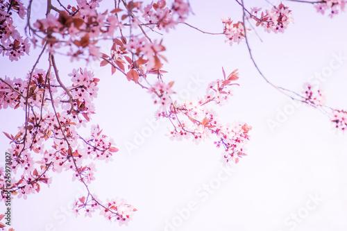 kirschblüten in der sonne