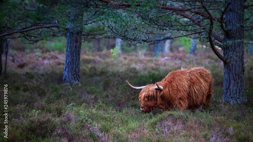 Fototapeta Scottish highland cow, standing on farmland  obraz