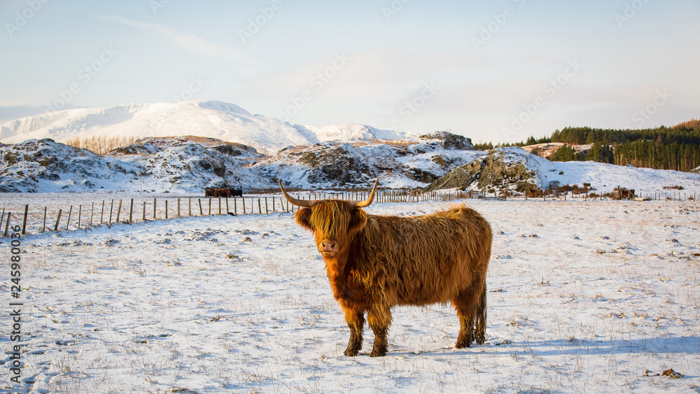 Obraz Scottish highland cow, standing on snow covered farmland, looking at the camera fototapeta, plakat