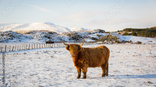 Fototapeta Scottish highland cow, standing on snow covered farmland, looking at the camera obraz