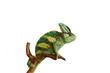 chameleon isolated on white background sitting on the wood