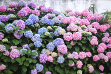 Bushes Of Hydrangea Are Pink, Blue, Lilac, Violet, Purple. Flowers Are Blooming In Spring And Summer In Town Street Garden.