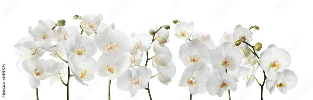 Fototapety, obrazy: Set of beautiful orchid phalaenopsis flowers on white background