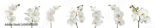 Fototapeta Set of beautiful orchid phalaenopsis flowers on white background obraz