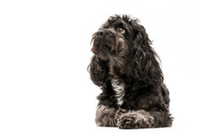 A Black Cockerpoo Puppy Photo Shoot Isolated On White Background