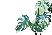 Variegated Leaves Of Monstera,...