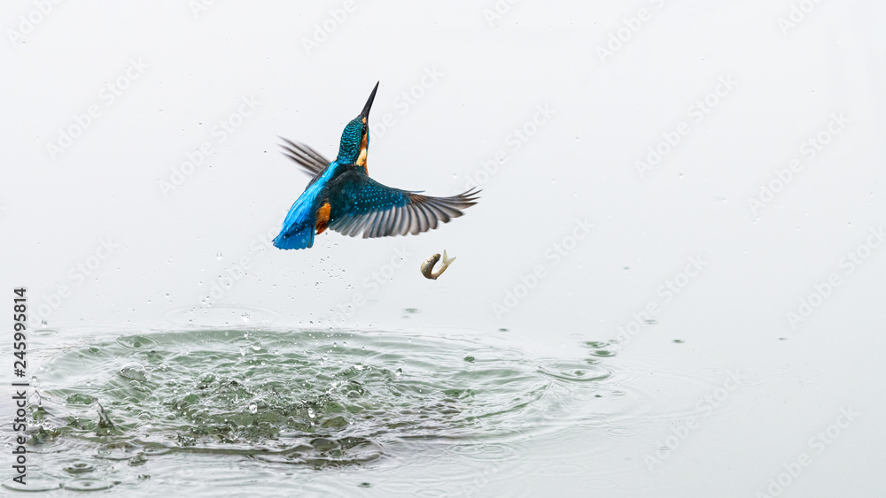 Fototapety, obrazy: Action photo of a kingfisher coming out from water after a successful fishing, but the fish has fallen out of the kingfisher's beak.