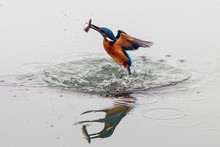 Action Photo Of A Kingfisher C...