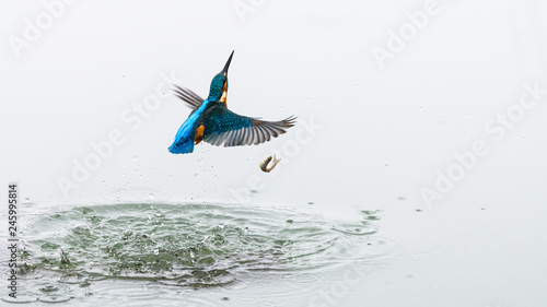 Fotografie, Obraz  Action photo of a kingfisher coming out from water after a successful fishing, but the fish has fallen out of the kingfisher's beak