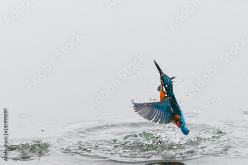 Canvas-taulu Action photo of a kingfisher coming out from water