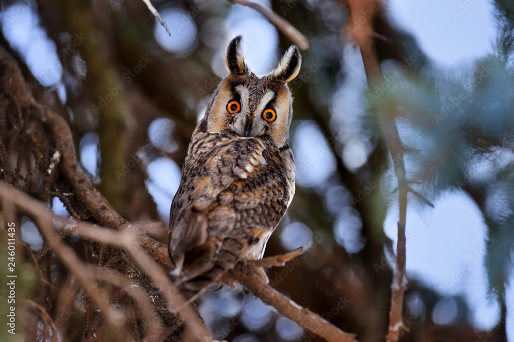 A Long-eared Owl (Asio otus) sitting on a tree and looking on the camera