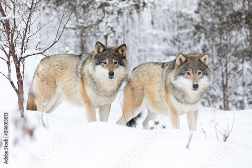 Two beautiful wolves in cold winter landscape