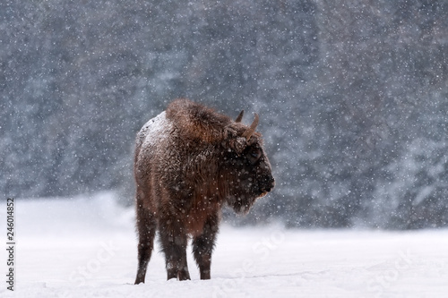 Valokuva  Winter Wildlife Scene: Motionless Great Wild Brown Bison (Wisent) During A  Snowfall