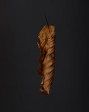 Closeup Of Dry Hornbeam Leaf On Dark Background