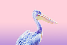 Pelican Bird Surreal Art On Pink And Purple Pastel Colors Background