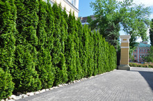 Hedge Of Thuja Trees