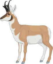 Pronghorn Antelope Vector Illustration