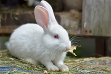 Young White Rabbit On A Private Farm In Ukraine. Shallow Depth Of Field, Close-up.