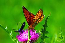 Nymphalidae Butterflies  - Is ...