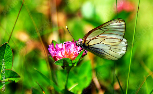 Transparent/white butterfly on flower in to the wild (Aporia crataegi) Wallpaper Mural