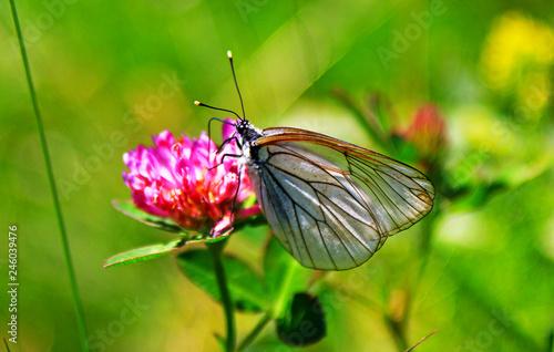 Photo Transparent/white butterfly on flower in to the wild (Aporia crataegi)