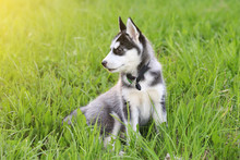 Cute Puppy Dog Sits In Grass I...