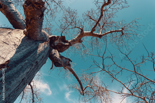 Fototapeta big tree Adansonia madagascariensis baobab, Amber mountain, madagascar wildernes