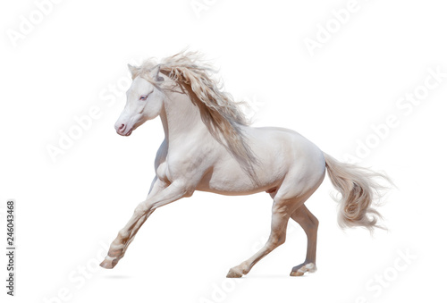 Fotografie, Obraz Beautiful welsh pony isolated