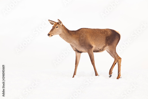 Poster de jardin Roe roe deer in winter snow