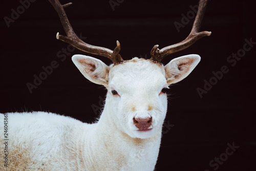 Valokuva  Albino Fallow Deer Stag studio isolated photo