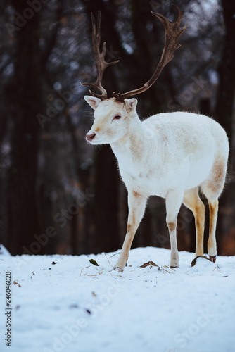 Tablou Canvas Albino white Fallow Deer Buck Dama Dama in the winter forest