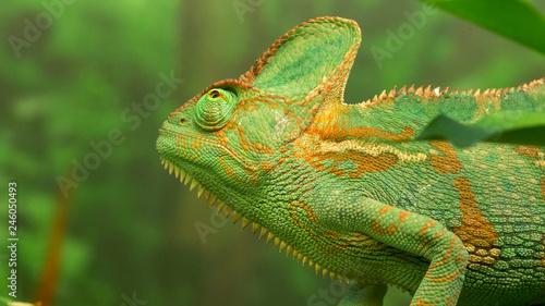 Staande foto Kameleon close up of a chameleon lizard on a branch looking up