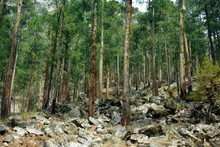 Himalayan Pine Forests