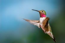 Flagstaff Mountain Hummingbird
