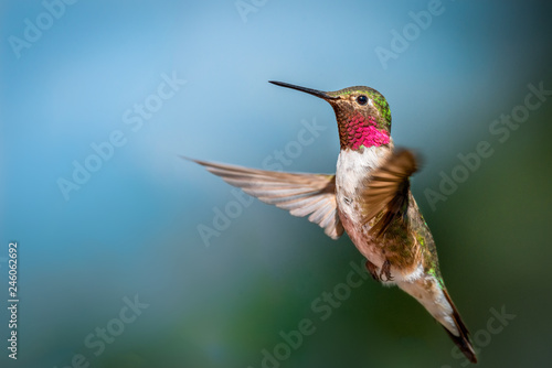 Photo  Flagstaff Mountain Hummingbird
