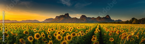 Poster de jardin Tournesol Panorama landscape of sunflowers blooming in the field., Beautiful scene of agriculture farming on mountain range background at sunset., Plantation of crop organic farm and countryside traveling.