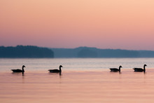 Twilight Silhouettes Of Four Canadian Geese On The Lake.