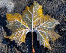 Frosted Maple Leaf In Fall