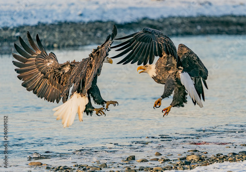 Fotografie, Tablou  Stand-Off  - Two bald eagles have a mid-air confrontation over a salmon dinner